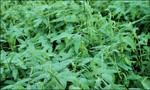 common aeschynomene, joint vetch, wildlife seed