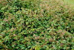 Desmodium heterocarpon wildlife food plot seed