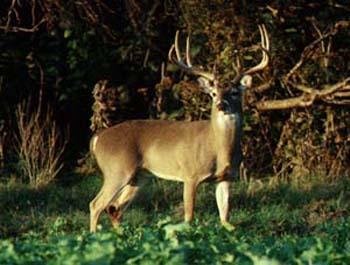 deer_greens.jpg