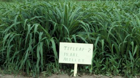 pearl_millet_seed_tiftleaf_ii.jpg